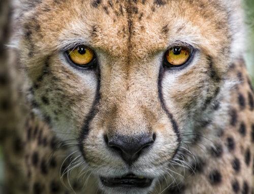 Catpurri Wissensbox: Der Gepard