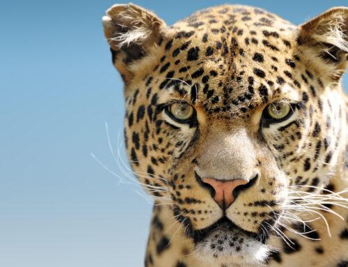 Catpurri Wissensbox: Der Leopard