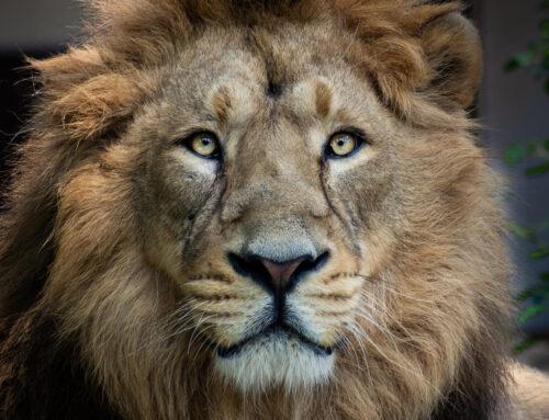 Catpurri Wissensbox: Der Löwe
