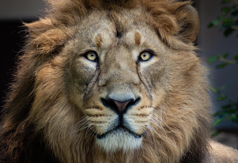 Catpurri Wissensbox Der Löwe