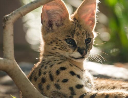 Catpurri Wissensbox: Der Serval