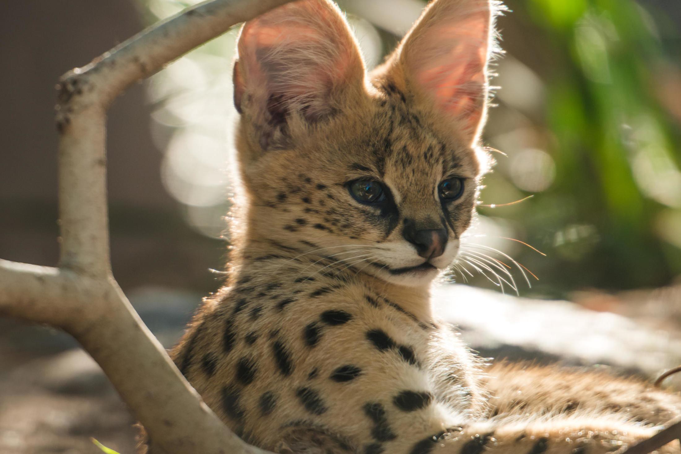 Catpurri Wissensbox Der Serval
