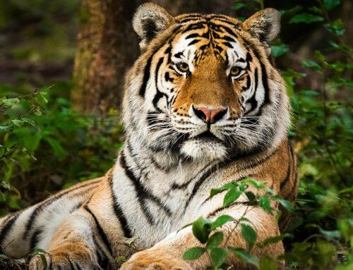 Catpurri Wissensbox: Der Tiger