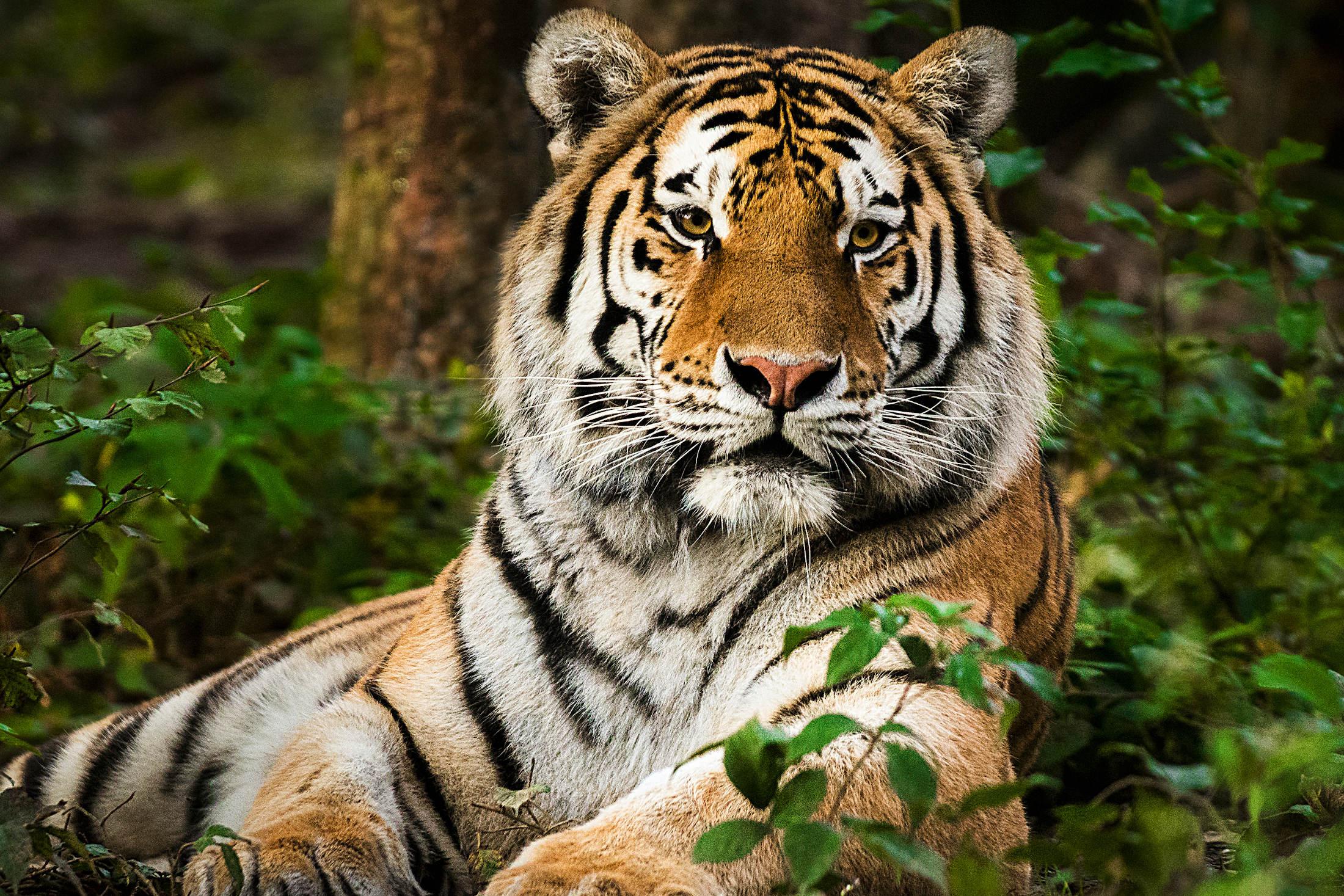 Catpurri Wissensbox Der Tiger